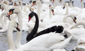 Black Swans or Wild Geese?